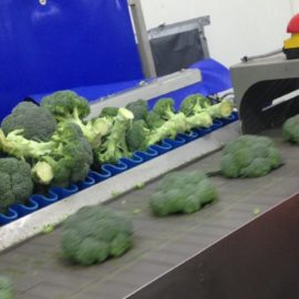 Tong trims handling time for Broccoli processors