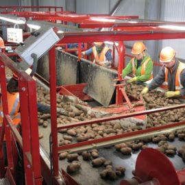 Potato Grading & Handling
