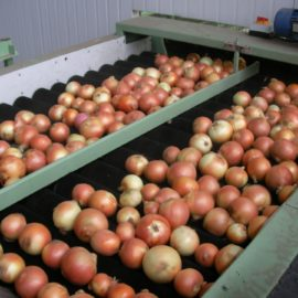 Onion Grading and Onion Processing
