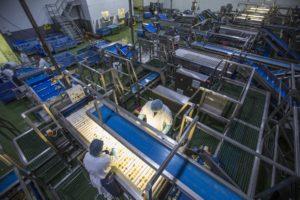 Potato Processing Line - Tong Engineering