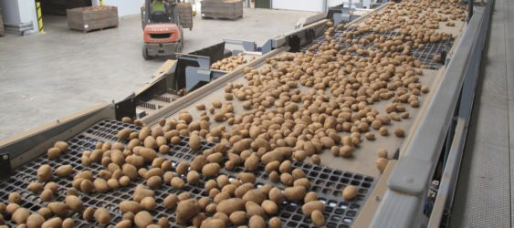 Potato Grading and Potato Handling
