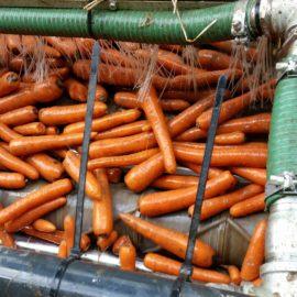 Carrot Grading & Handling