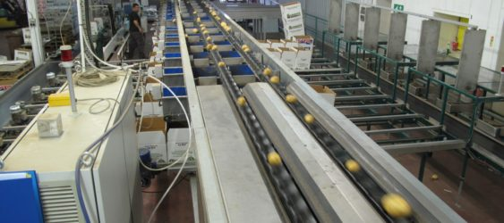 Potato Optical Sorting