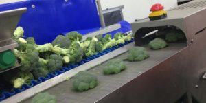 Broccoli Trimming Line - Video   Tong Engineering UK