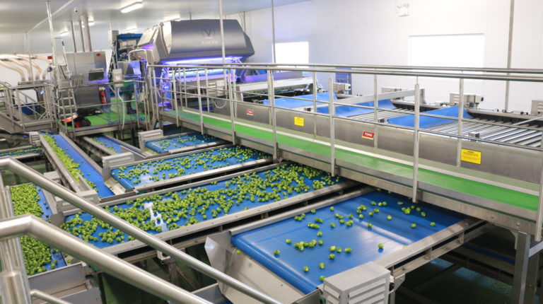 Brussels Sprouts Grading & Sorting Line